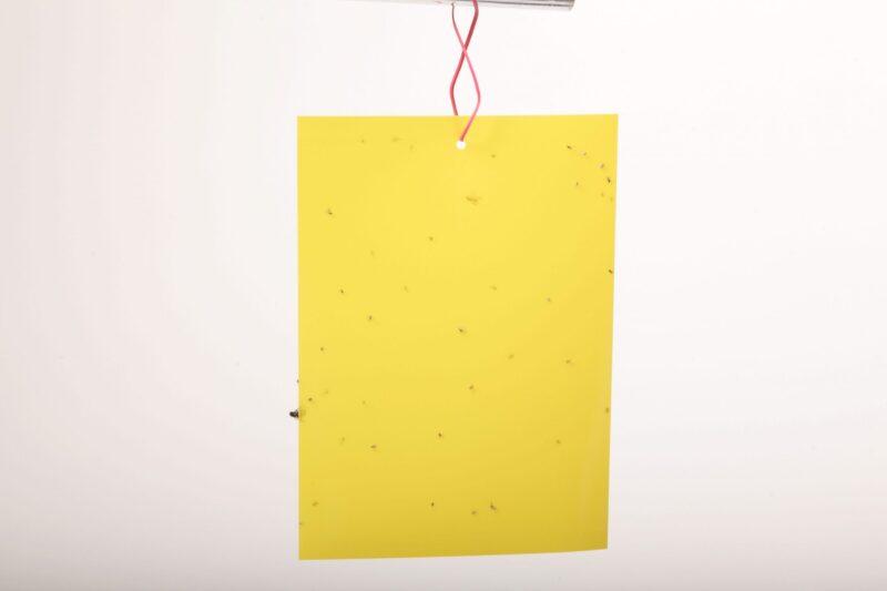 הלוחית הצהובה